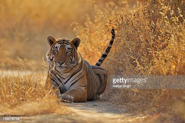wild tiger of ranthambore tiger reserve - ranthambore national park stock pictures, royalty-free photos & images