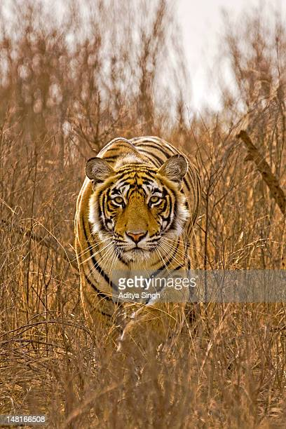 wild tiger - bengal tiger stock pictures, royalty-free photos & images