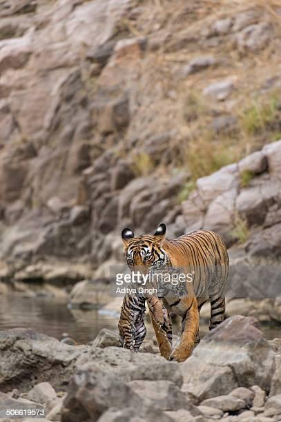 wild tigress carrying her baby cub - くわえる ストックフォトと画像