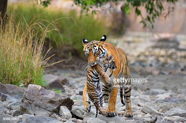 Wild tigress carrying her small cub
