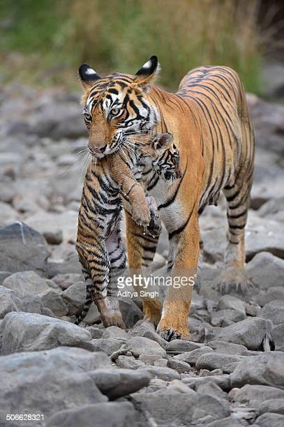 wild tigress carrying her small cub - くわえる ストックフォトと画像