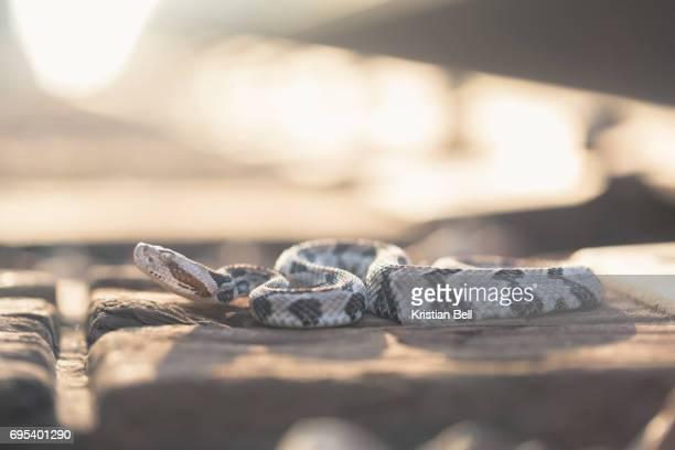 Wild timber rattlesnake on train tracks (Crotalus horridus)