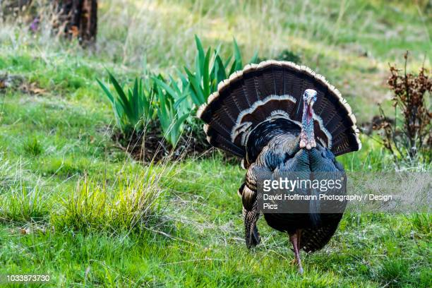 wild tom turkey (meleagris gallopavo) with tail feathers fanned out in the cascade siskiyou national monument - siskiyou stock pictures, royalty-free photos & images