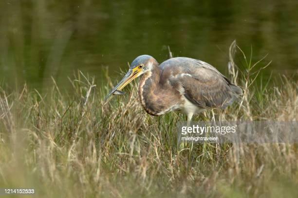 wild tricolored heron eats fish aransas national wildlife refuge texas - milehightraveler stock pictures, royalty-free photos & images