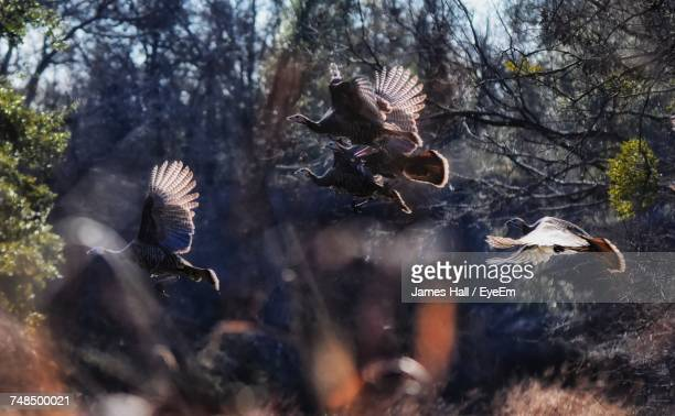 wild turkey birds flying against trees - wild turkey stock photos and pictures