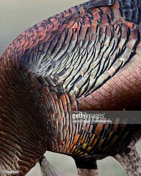 Wild turkey (Meleagris gallopavo) feather iridescence, Chiricahuas, Coronado National Forest, Arizona, United States of America, North America