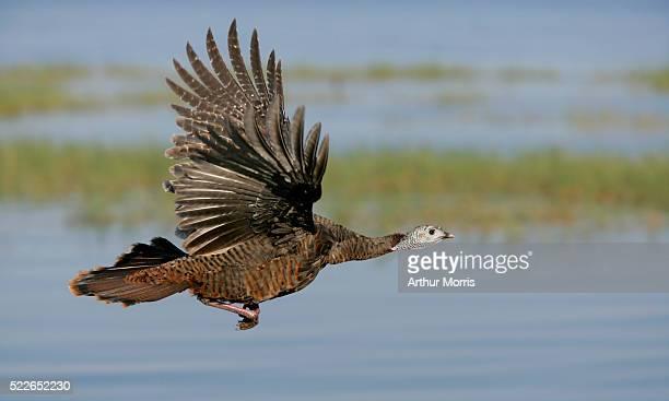 Wild Turkey in Flight