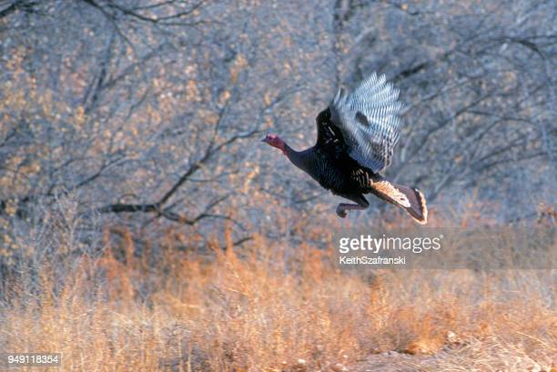 wild turkey in flight - wild turkey stock photos and pictures