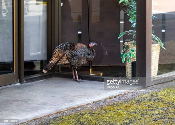 wild turkey outside business downtown eugene oregon meleagris gallopavo - wild turkey stock photos and pictures