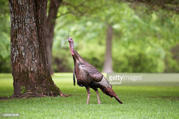 wild turkey - wild turkey stock photos and pictures