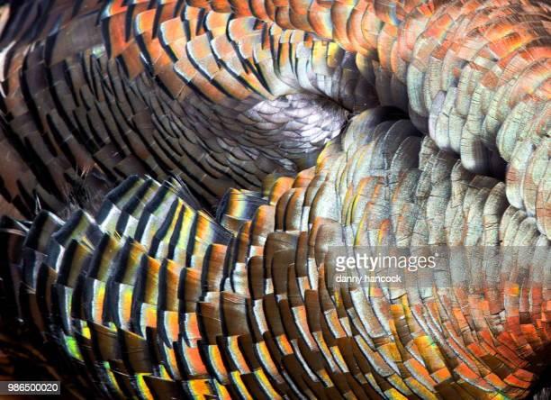 wild turkey plummage - turkey feathers stock photos and pictures