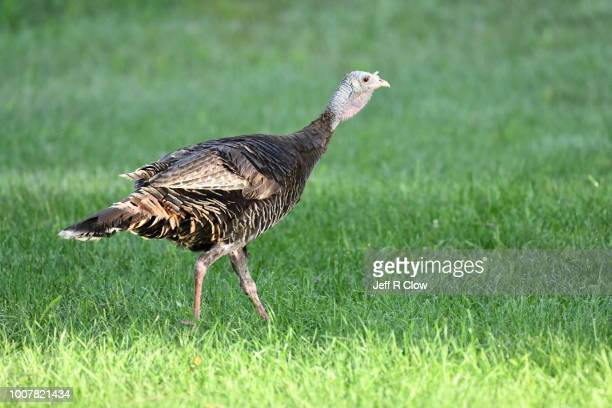 wild turkey walk - wild turkey stock photos and pictures