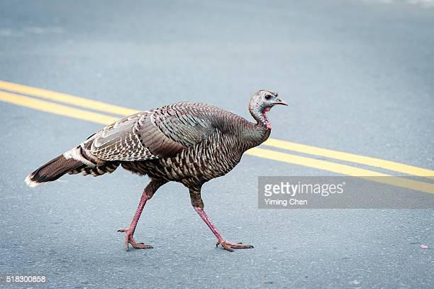 wild turkey walking on the road - wild turkey stock photos and pictures