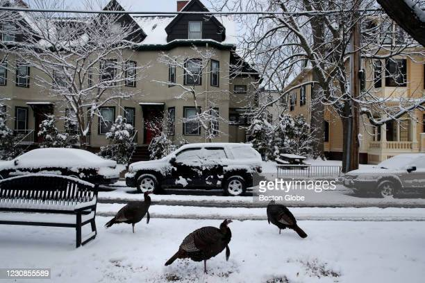 Wild turkeys gather on the median on Langdon Street in Cambridge, MA on January 27, 2021. Scattered snow showers and a wintery mix continued into...
