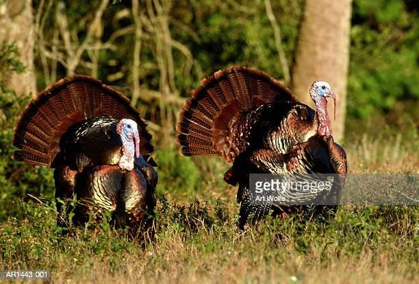 wild turkeys (meleagris gallopavo), georgia, usa - ugly turkey stock photos and pictures