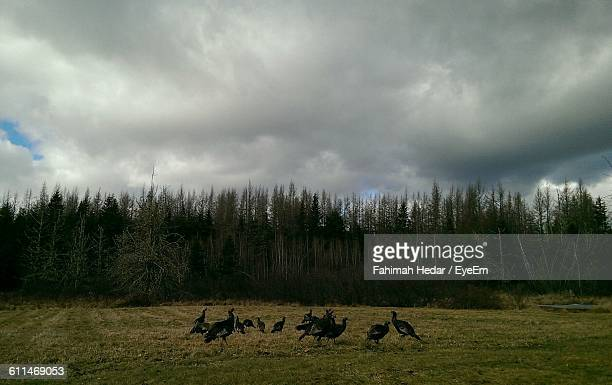 wild turkeys on field against cloudy sky - wild turkey stock photos and pictures
