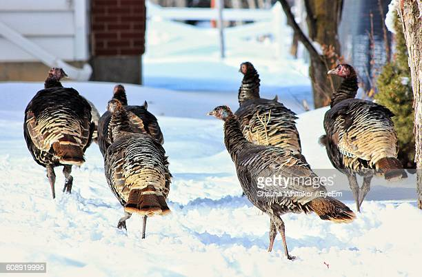 wild turkeys on snow covered field during winter - wild turkey stock photos and pictures
