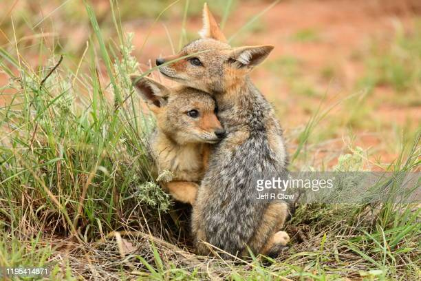 wild two week old jackal pups huddle together in africa - mammal stock pictures, royalty-free photos & images