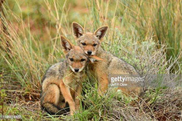 wild two week old jackal pups sit together in africa - mammal stock pictures, royalty-free photos & images