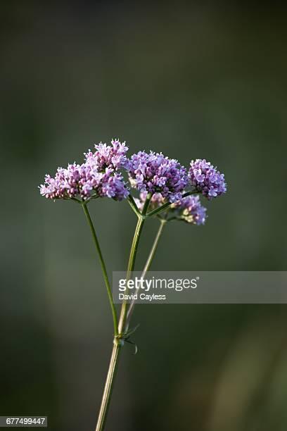 Wild Valerian wild flower
