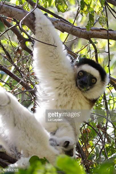 Wild Verreaux's Sifaka with days-old baby, Isalo NP, Madagascar