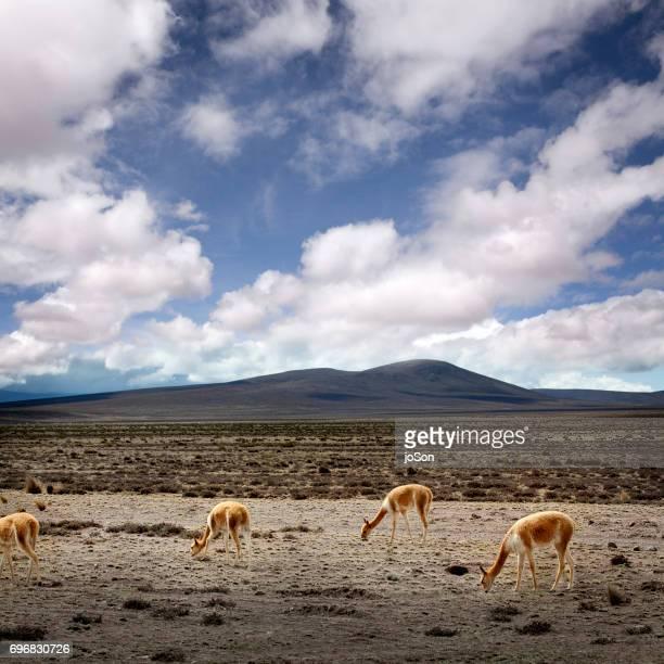 Wild Vicunas at Salinas y Aguada Blanca National Reserve