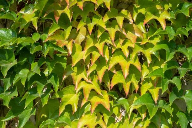 Wild vine (Vitis vinifera) growing on a house wall, Germany