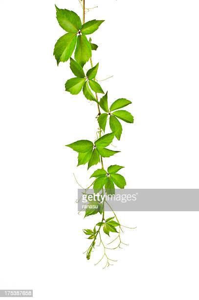 Wild Vine (Parthenocissus Tricuspidata).