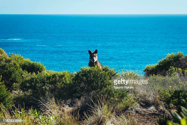 wild wallaby hiding in bush in a coastal reserve, phillip island, victoria - bass strait stock pictures, royalty-free photos & images