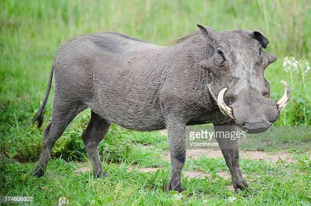 wild warthog in green serengeti plains - tanzania - facocero foto e immagini stock