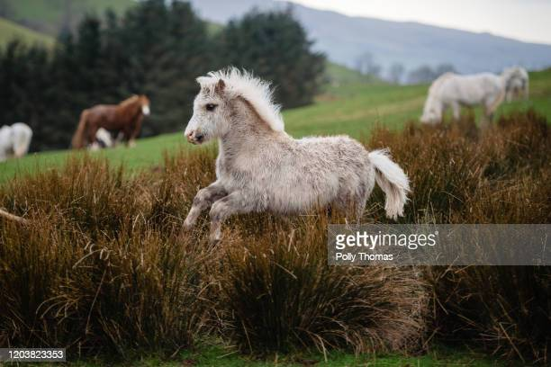 Wild Welsh foal canters through long grass in the Brecon Beacons National Park on February 01, 2020 in Brecon, United Kingdom.