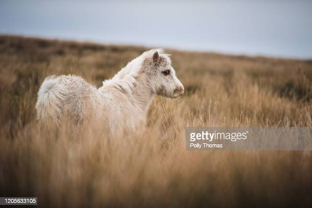 A wild Welsh foal in the Brecon Beacons National Park on February 01 2020 in Brecon United Kingdom