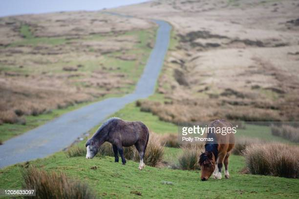 Wild Welsh ponies graze next to a road in the Brecon Beacons National Park on February 01, 2020 in Brecon, United Kingdom.