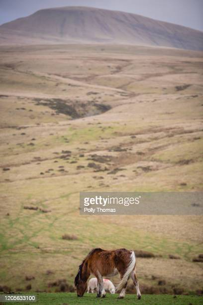 A wild Welsh pony grazes at the foot of the Black Mountain in the Brecon Beacons National Park on February 01 2020 in Brecon United Kingdom