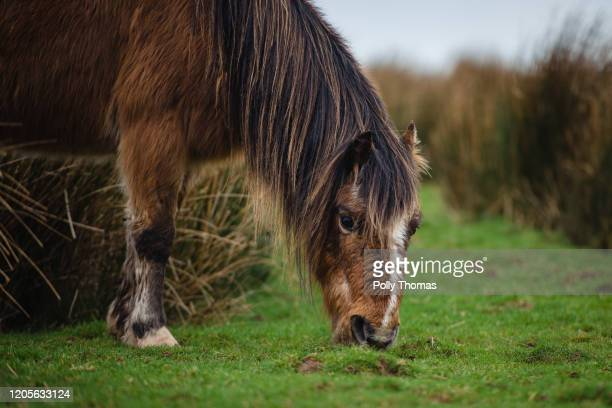 Wild Welsh pony grazes in the Brecon Beacons National Park on February 01, 2020 in Brecon, United Kingdom.