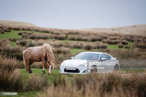 Wild Welsh pony grazes next to a road as a car drives by in the Brecon Beacons National Park on February 01, 2020 in Brecon, United Kingdom.