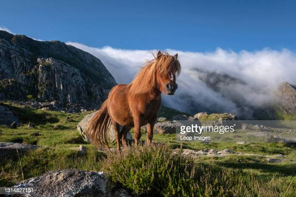 Wild Welsh Pony in Cwm Idwal backed by The Glyderau Mountains in Snowdonia.