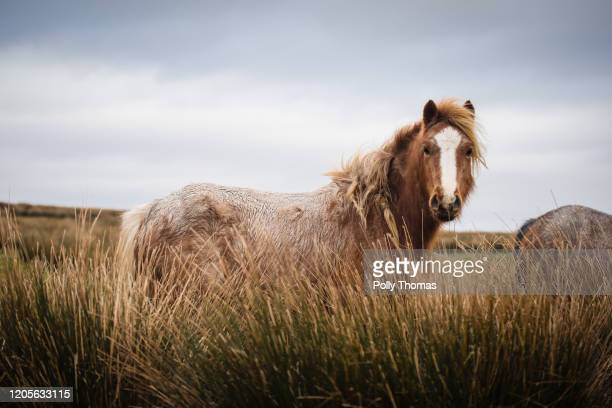 Wild Welsh pony in the Brecon Beacons National Park on February 01, 2020 in Brecon, United Kingdom.