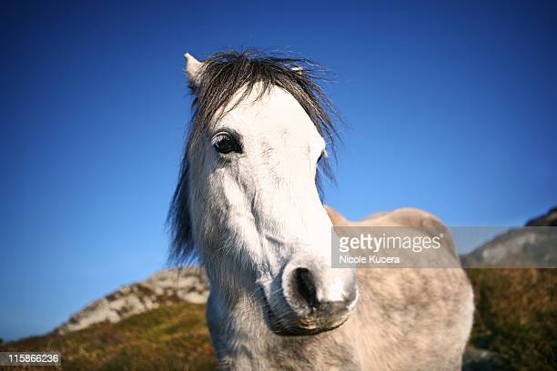 Wild Welsh pony on mountain top
