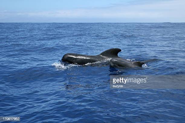ワイルドなクジラファミリー teneriffe - テネリフェ島 ストックフォトと画像