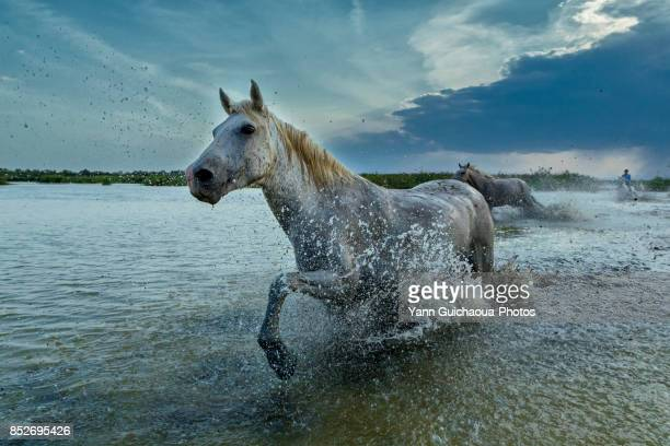 Wild white camargue horses running throught water