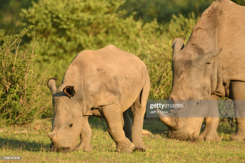 Wild White Family Grazes In South Africa High-Res Stock