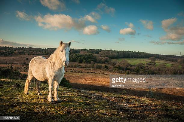 Wild White horse, The New Forest, England