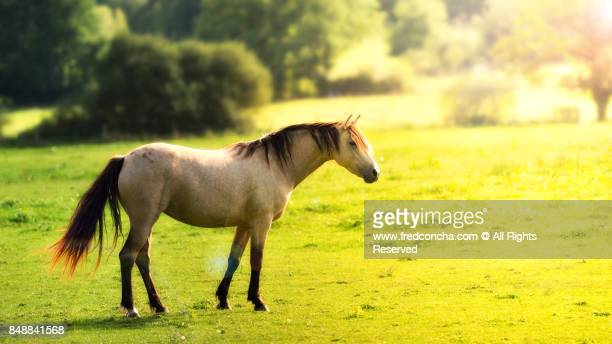 Wild white horse with a golden light