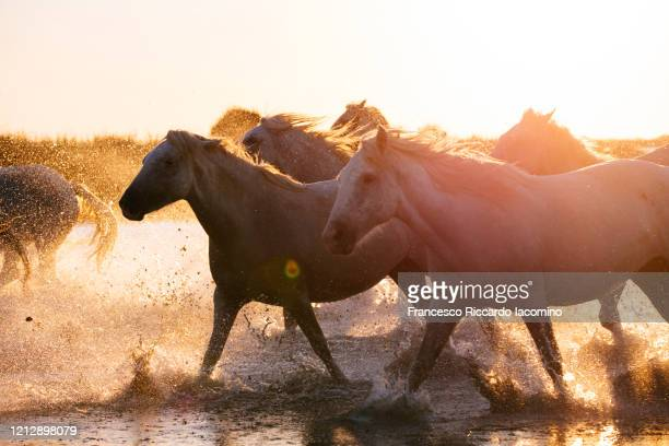 wild white horses of camargue running in water at sunset - francesco riccardo iacomino france foto e immagini stock