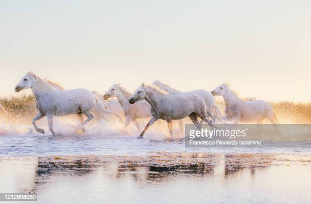 wild white horses of camargue running in water at sunset - cheval blanc photos et images de collection