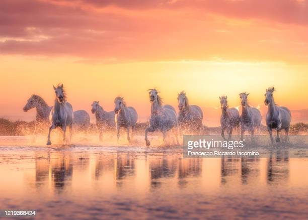 wild white horses of camargue running in water during idyllic sunset. - francesco riccardo iacomino france foto e immagini stock
