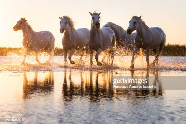 Wild White Horses of Camargue running in water