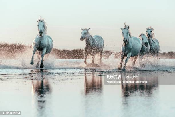 wild white horses of camargue running in water - equestrian animal photos et images de collection