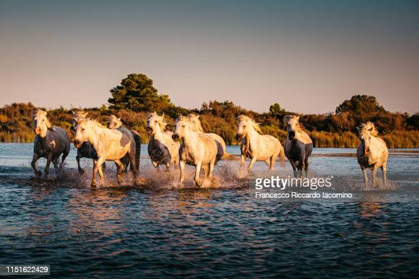 wild white horses of camargue running in water - francesco riccardo iacomino france foto e immagini stock